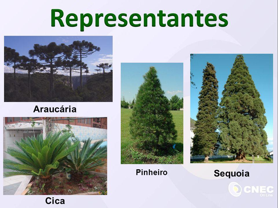 Araucária Cica Pinheiro Sequoia