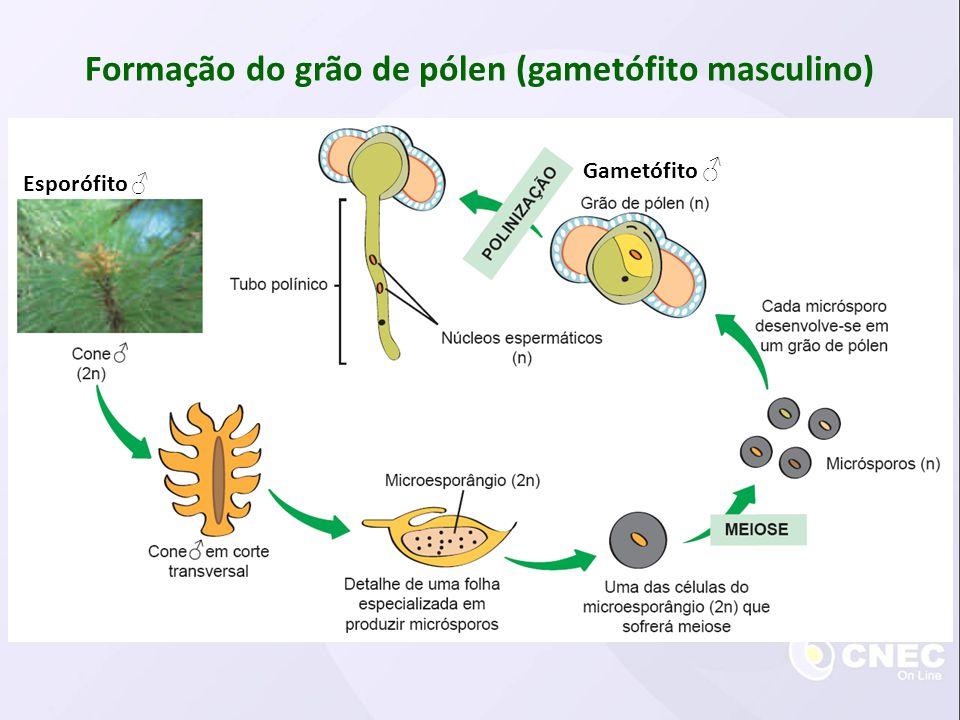 Formação do gametófito feminino Esporófito Gametófito