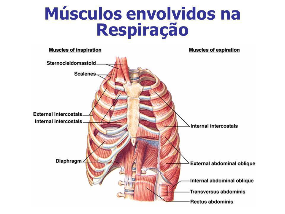 Músculos envolvidos na Respiração