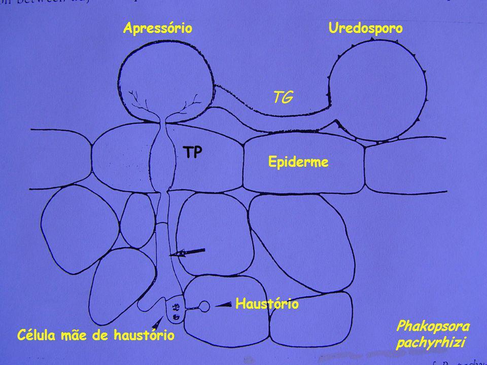 Uredosporo TG Apressório Epiderme TP Célula mãe de haustório Haustório Phakopsora pachyrhizi