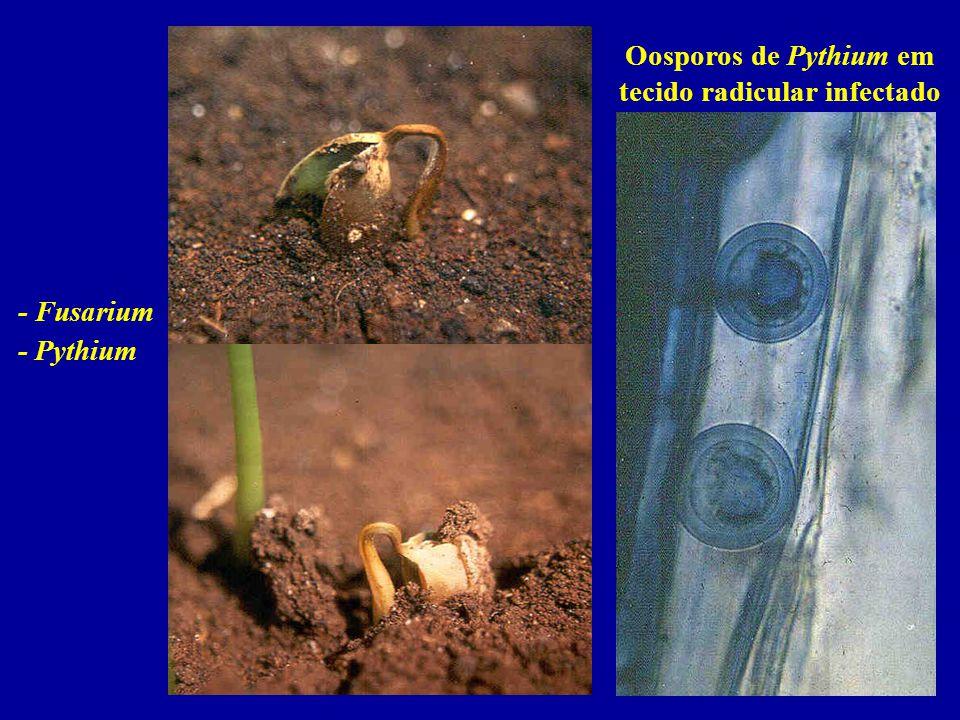 - Fusarium - Pythium Oosporos de Pythium em tecido radicular infectado