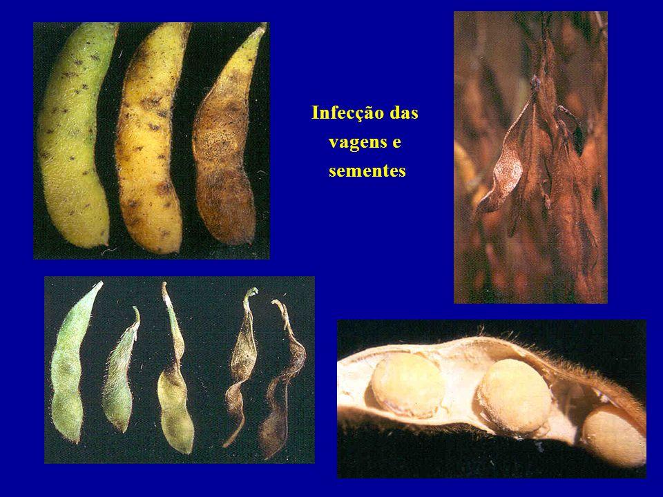 Atenção: Oídio e ferrugem não estão associados à semente
