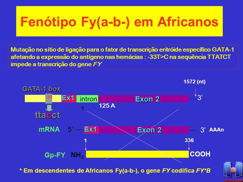 Fenótipo Fy(a-b-) em Africanos intron Exon 2 5 Ex1 Ex1Ex1 3 3 NH 2 COOH 1572 (nt) AAAn 336 1 1 mRNA Gp-FY 125 A GATA-1 box -33 ttacct * Em descendente
