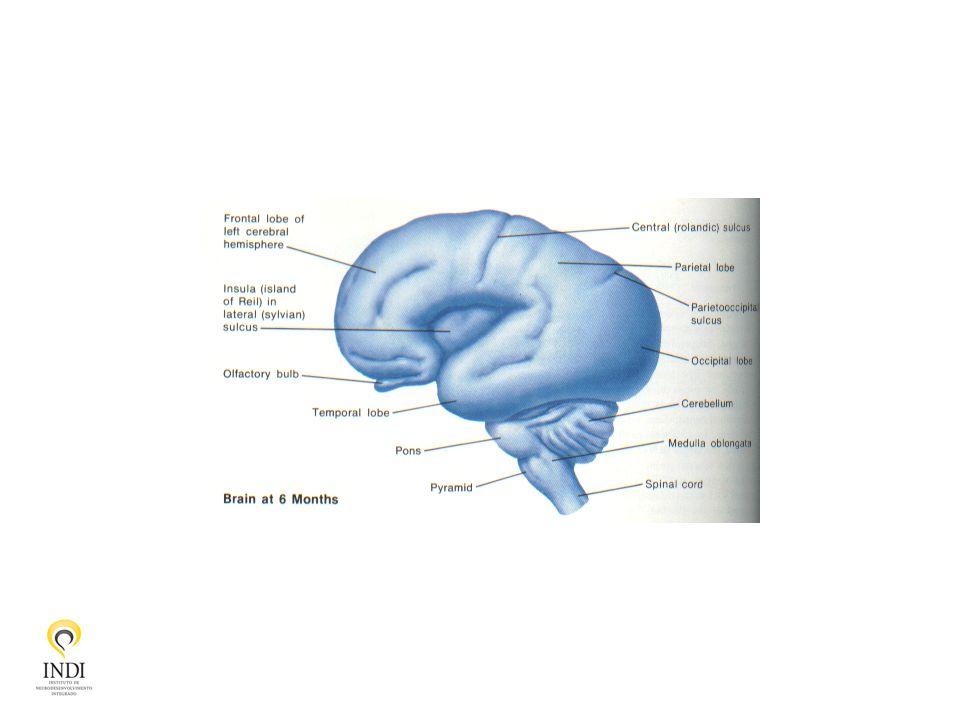 Desenvolvimento Cerebral Migração neuronal - citoarquitetura