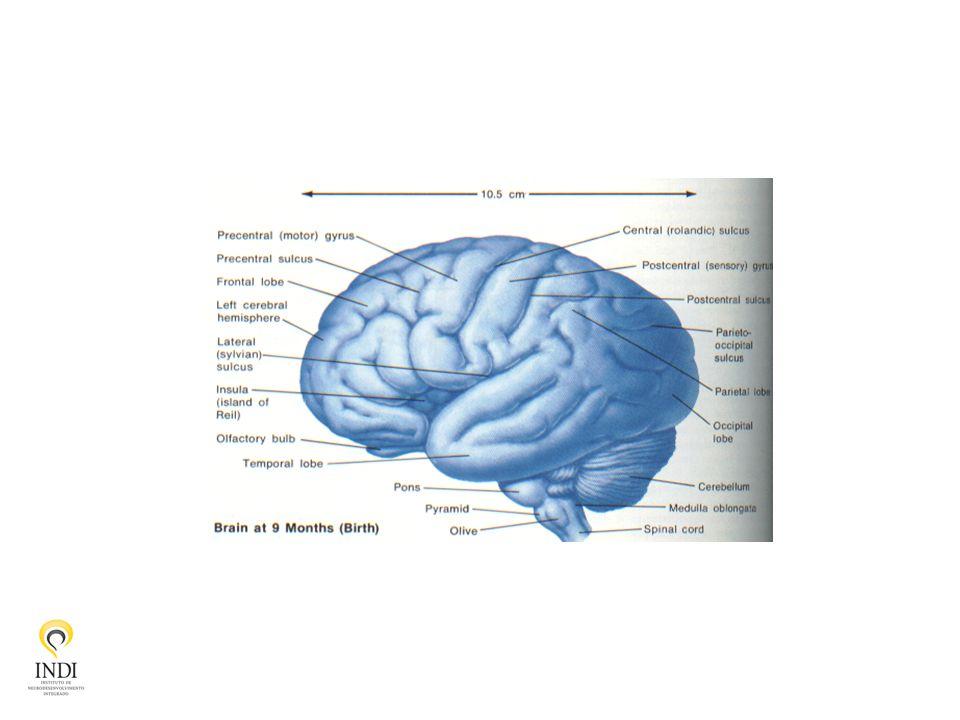 Cérebro – detalhes anatômicos