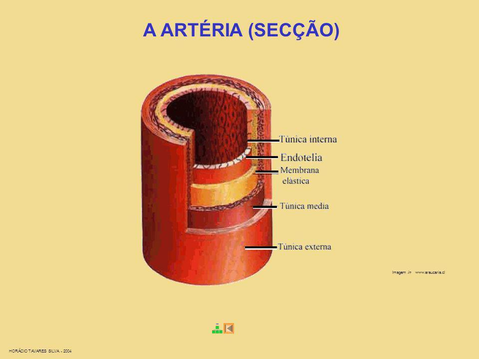 Imagem in www.araucaria.cl A ARTÉRIA (SECÇÃO)