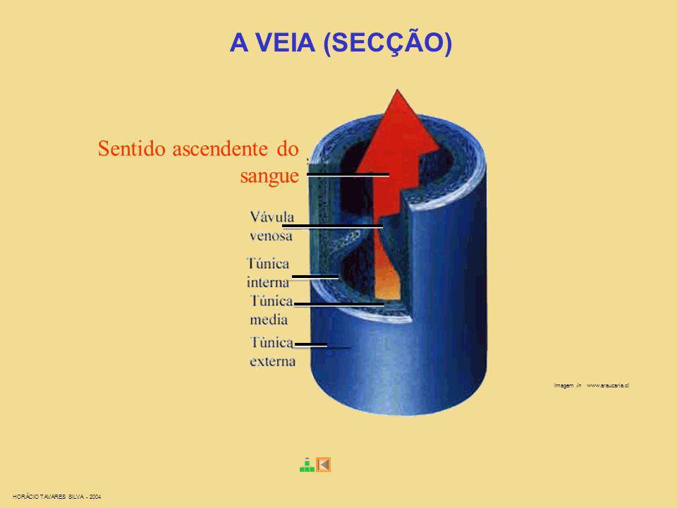 HORÁCIO TAVARES SILVA - 2004 Imagem in www.araucaria.cl A VEIA (SECÇÃO) Sentido ascendente do sangue
