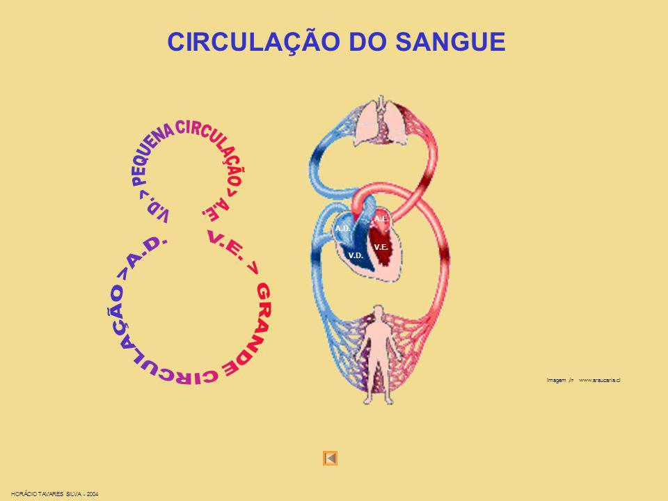 CIRCULAÇÃO DO SANGUE Imagem in www.araucaria.cl HORÁCIO TAVARES SILVA - 2004 A.D. A.E. V.D. V.E.