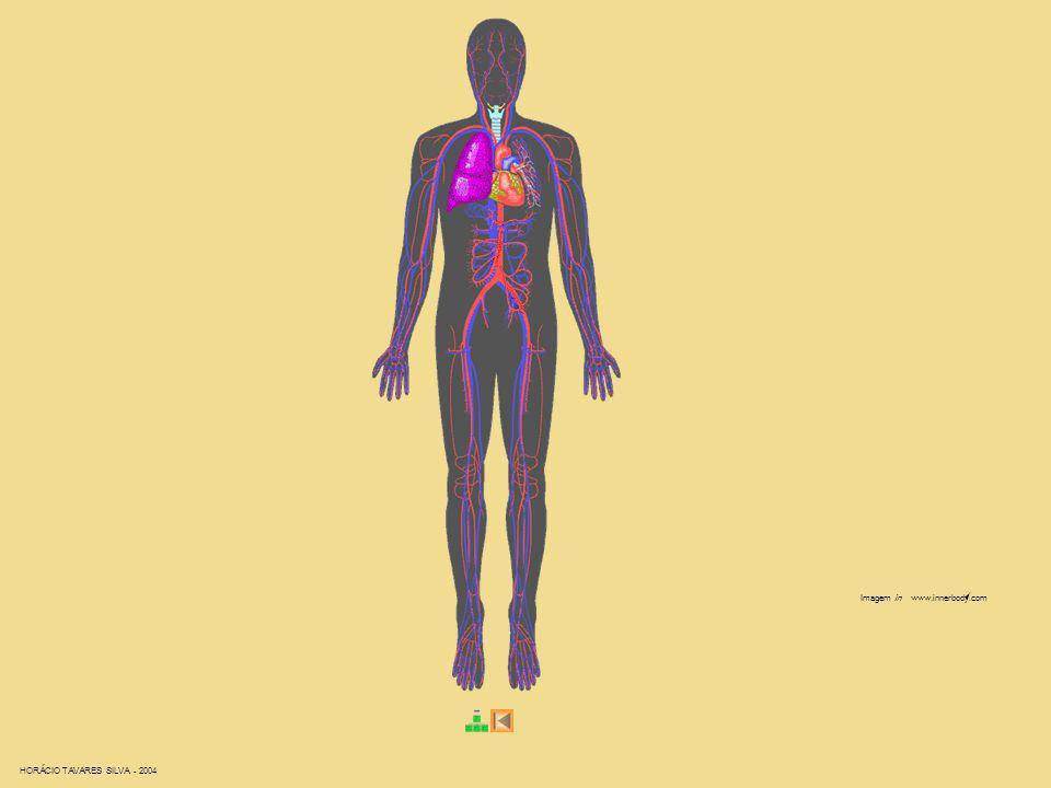 Imagem in www.innerbody.com