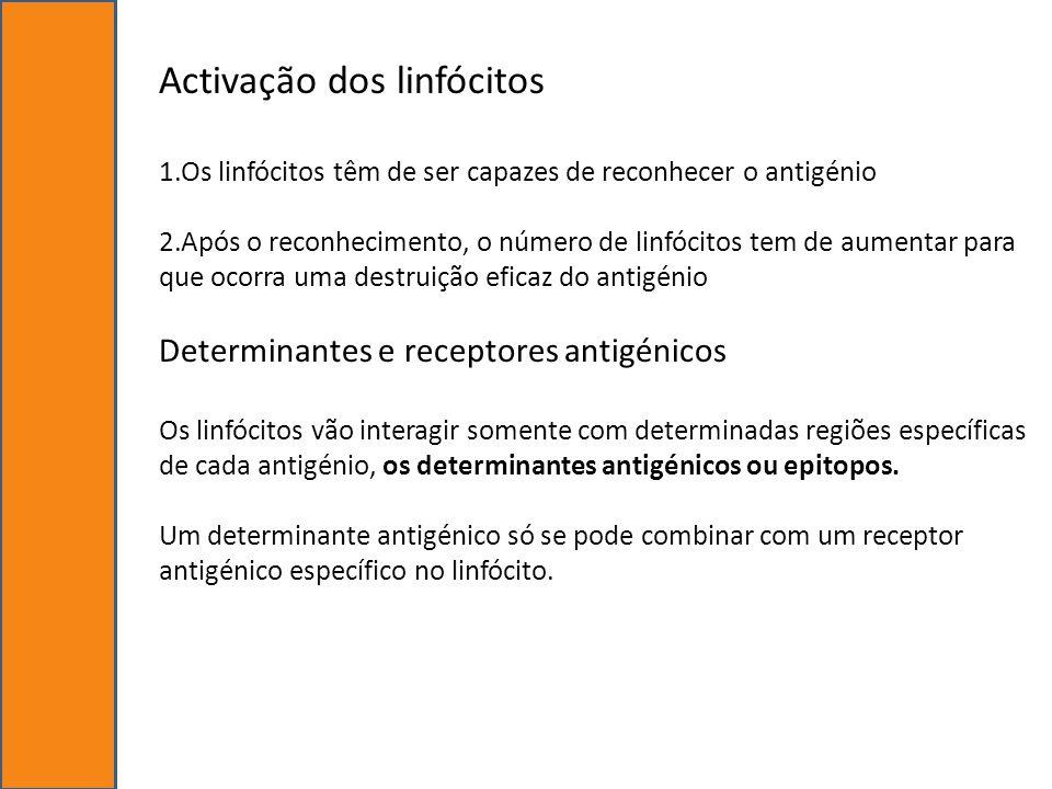 Activação dos linfócitos 1.Os linfócitos têm de ser capazes de reconhecer o antigénio 2.Após o reconhecimento, o número de linfócitos tem de aumentar