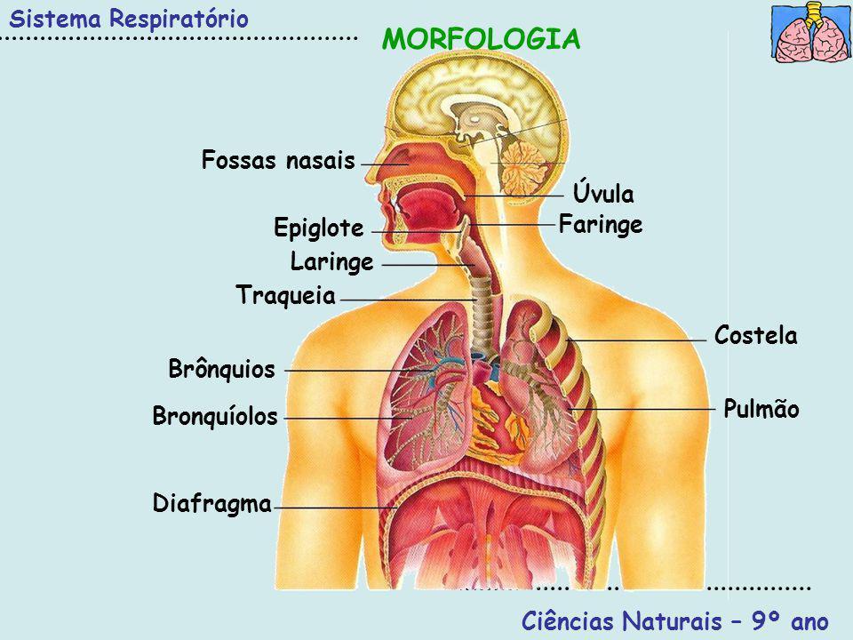 Sistema Respiratório Ciências Naturais – 9º ano Movimentos Respiratórios São os músculos intercostais e o diafragma que origina os movimentos da caixa torácica.