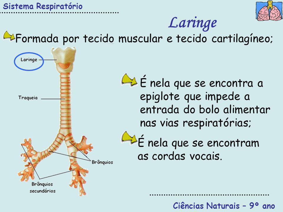 Sistema Respiratório Ciências Naturais – 9º ano Laringe