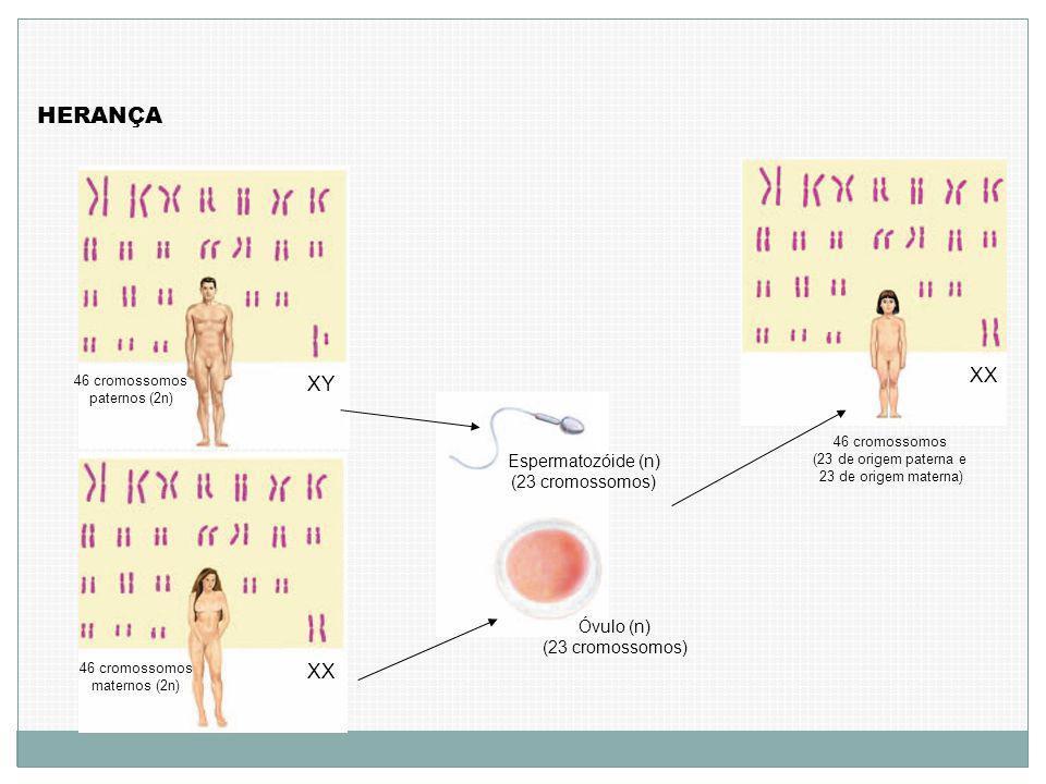 HERANÇA 46 cromossomos paternos (2n) XY 46 cromossomos maternos (2n) XX Espermatozóide (n) (23 cromossomos) Óvulo (n) (23 cromossomos) 46 cromossomos (23 de origem paterna e 23 de origem materna) XX