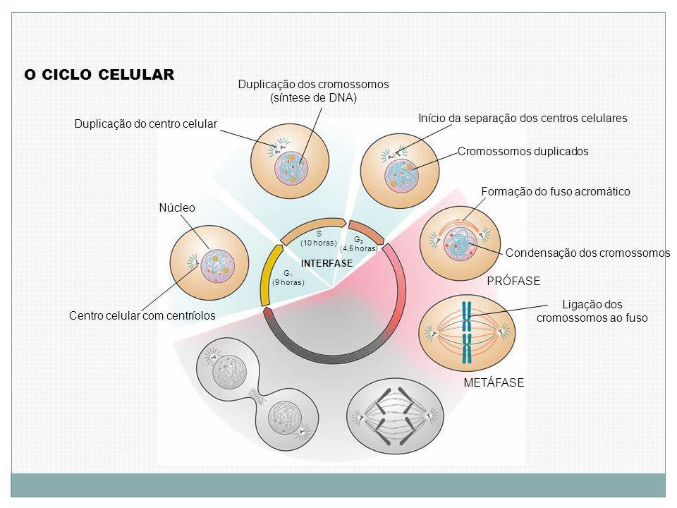 O CICLO CELULAR Centro celular com centríolos Núcleo G 1 (9 horas) S (10 horas) Duplicação do centro celular Duplicação dos cromossomos (síntese de DNA) G 2 (4,5 horas) INTERFASE Início da separação dos centros celulares Cromossomos duplicados Formação do fuso acromático Condensação dos cromossomos PRÓFASE Ligação dos cromossomos ao fuso METÁFASE