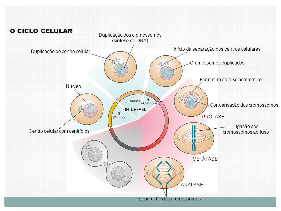 O CICLO CELULAR Centro celular com centríolos Núcleo G 1 (9 horas) S (10 horas) Duplicação do centro celular Duplicação dos cromossomos (síntese de DNA) G 2 (4,5 horas) INTERFASE Início da separação dos centros celulares Cromossomos duplicados Formação do fuso acromático Condensação dos cromossomos PRÓFASE Ligação dos cromossomos ao fuso METÁFASE ANÁFASE Separação dos cromossomos