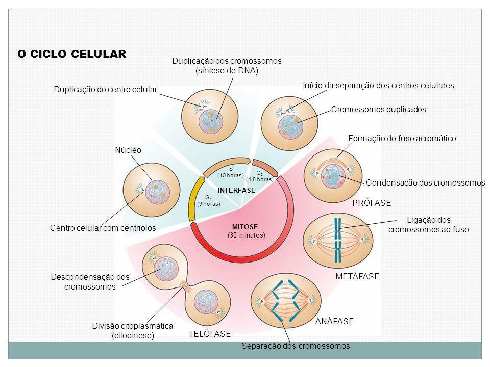 Centro celular com centríolos Núcleo G 1 (9 horas) S (10 horas) G 2 (4,5 horas) INTERFASE MITOSE (30 minutos) Duplicação do centro celular Duplicação dos cromossomos (síntese de DNA) Início da separação dos centros celulares Cromossomos duplicados Formação do fuso acromático Condensação dos cromossomos O CICLO CELULAR PRÓFASE Ligação dos cromossomos ao fuso METÁFASE ANÁFASE Separação dos cromossomos TELÓFASE Divisão citoplasmática (citocinese) Descondensação dos cromossomos