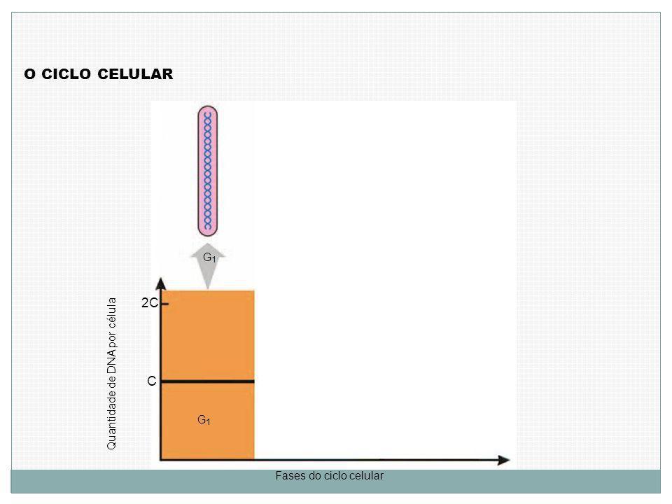 O CICLO CELULAR Quantidade de DNA por célula C 2C Fases do ciclo celular G1G1 G1G1