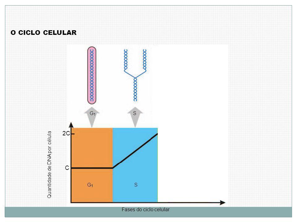 O CICLO CELULAR Quantidade de DNA por célula C 2C Fases do ciclo celular G1G1 G1G1 S S