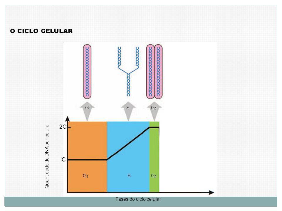 O CICLO CELULAR Quantidade de DNA por célula C 2C Fases do ciclo celular G1G1 G1G1 S S G2G2 G2G2