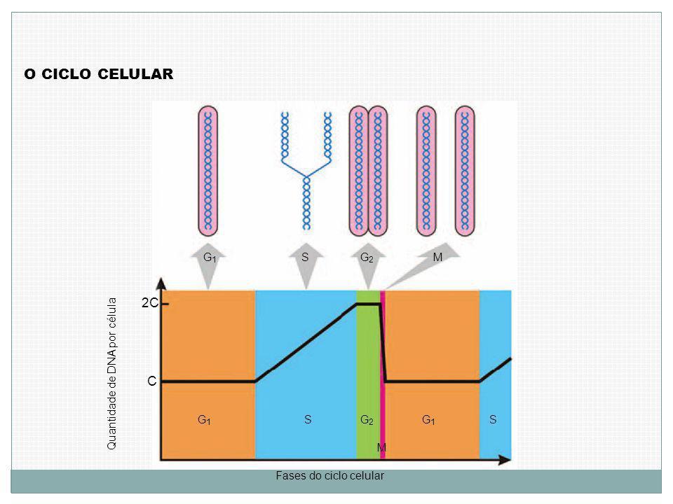 O CICLO CELULAR Quantidade de DNA por célula C 2C G1G1 G2G2 SM G1G1 SG2G2 M G1G1 S Fases do ciclo celular