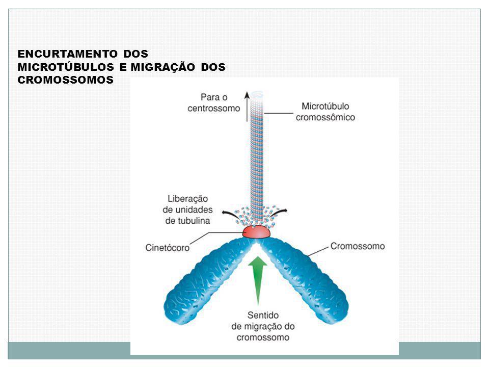 ENCURTAMENTO DOS MICROTÚBULOS E MIGRAÇÃO DOS CROMOSSOMOS