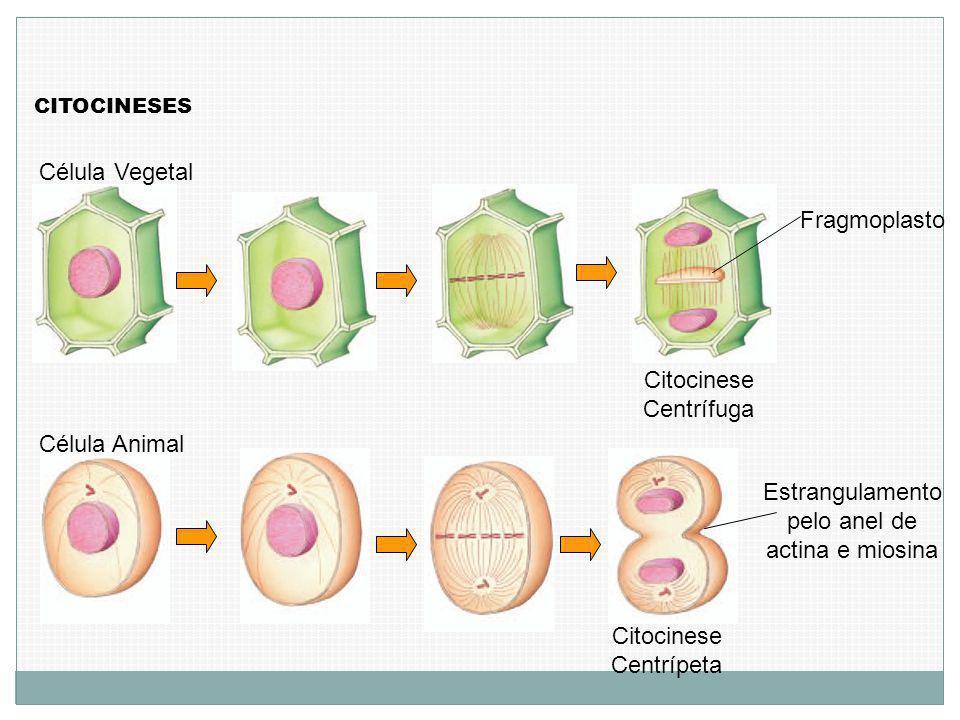 CITOCINESES Célula Animal Célula Vegetal Citocinese Centrífuga Citocinese Centrípeta Fragmoplasto Estrangulamento pelo anel de actina e miosina