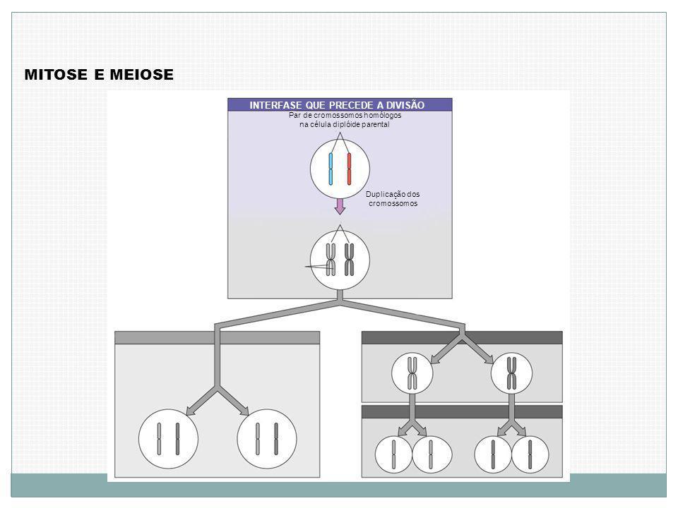 MITOSE E MEIOSE INTERFASE QUE PRECEDE A DIVISÃO Par de cromossomos homólogos na célula diplóide parental Duplicação dos cromossomos