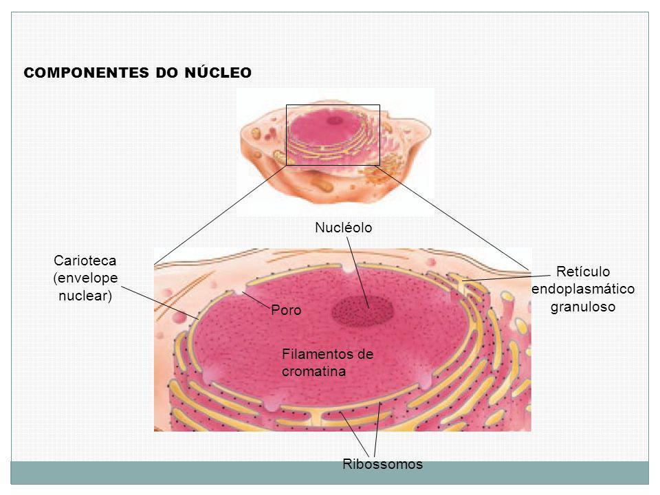 COMPONENTES DO NÚCLEO Poro Filamentos de cromatina Carioteca (envelope nuclear) Nucléolo Retículo endoplasmático granuloso Ribossomos