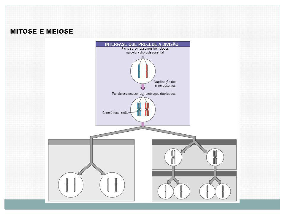 MITOSE E MEIOSE INTERFASE QUE PRECEDE A DIVISÃO Par de cromossomos homólogos na célula diplóide parental Duplicação dos cromossomos Par de cromossomos homólogos duplicados Cromátides-irmãs
