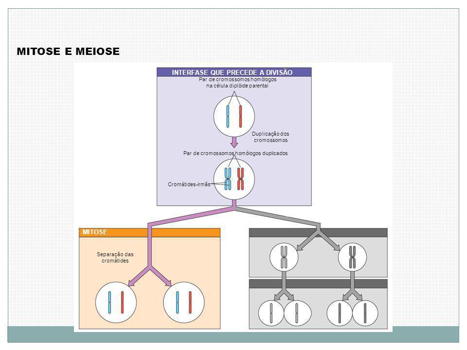 MITOSE E MEIOSE INTERFASE QUE PRECEDE A DIVISÃO Par de cromossomos homólogos na célula diplóide parental Duplicação dos cromossomos Par de cromossomos homólogos duplicados Cromátides-irmãs MITOSE Separação das cromátides