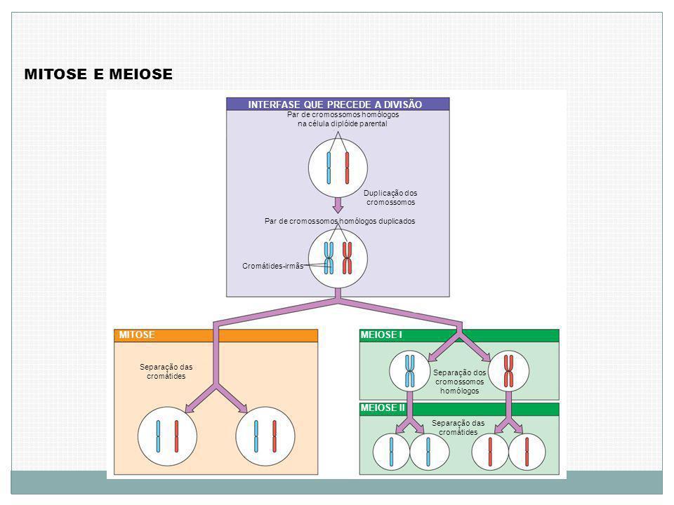 MITOSE E MEIOSE INTERFASE QUE PRECEDE A DIVISÃO MITOSEMEIOSE I MEIOSE II Par de cromossomos homólogos na célula diplóide parental Duplicação dos cromossomos Par de cromossomos homólogos duplicados Cromátides-irmãs Separação dos cromossomos homólogos Separação das cromátides