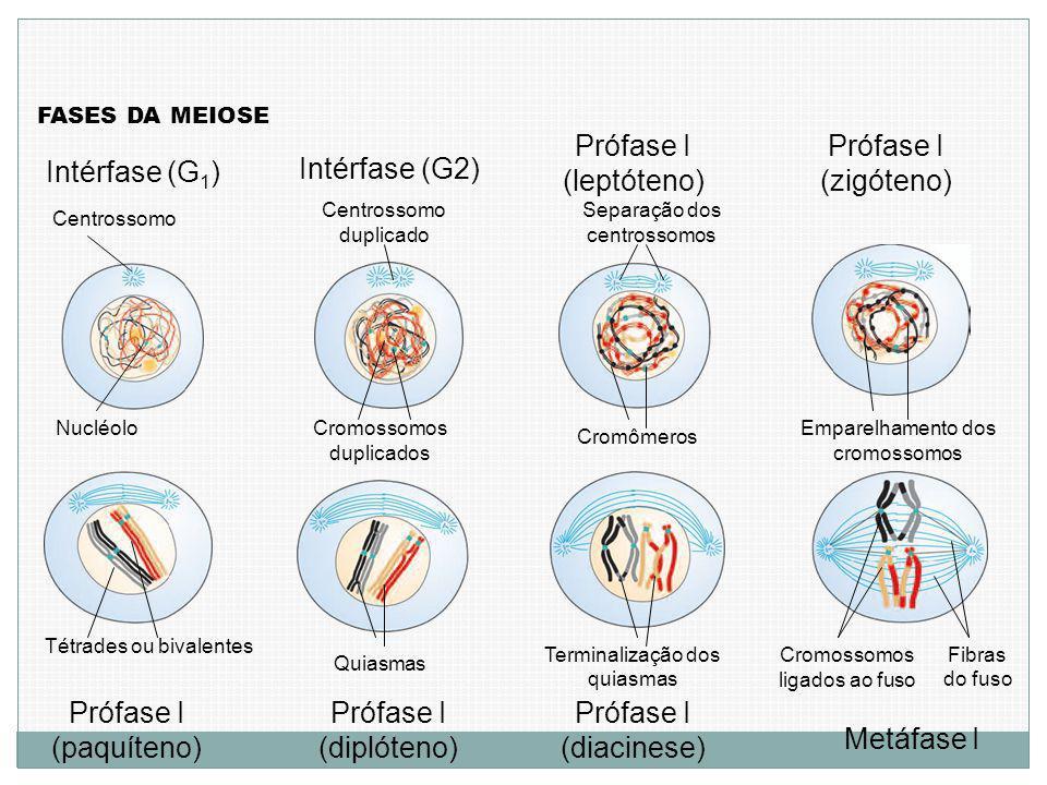 Intérfase (G 1 ) FASES DA MEIOSE Centrossomo Nucléolo Intérfase (G2) Centrossomo duplicado Cromossomos duplicados Prófase I (leptóteno) Separação dos centrossomos Cromômeros Prófase I (zigóteno) Emparelhamento dos cromossomos Prófase I (paquíteno) Prófase I (diplóteno) Prófase I (diacinese) Metáfase I Tétrades ou bivalentes Quiasmas Terminalização dos quiasmas Cromossomos ligados ao fuso Fibras do fuso