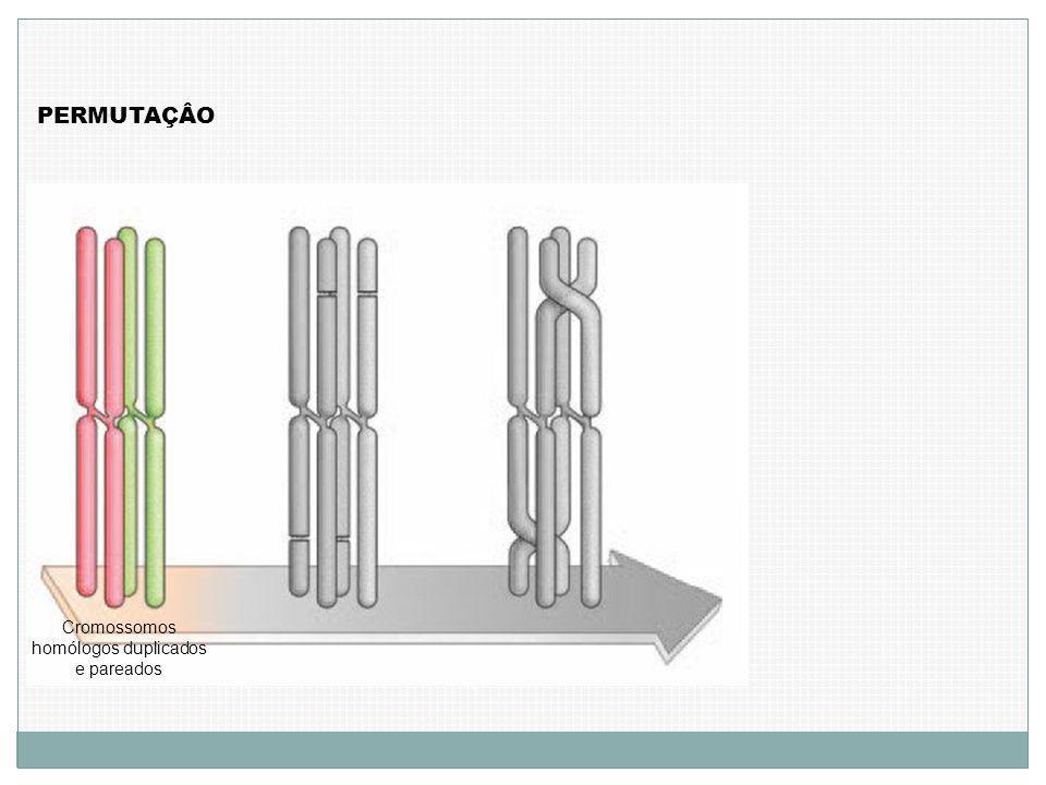 Cromossomos homólogos duplicados e pareados PERMUTAÇÂO
