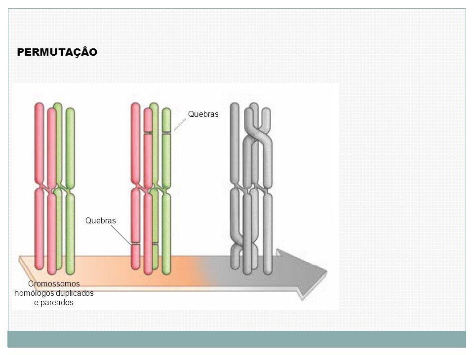 Cromossomos homólogos duplicados e pareados PERMUTAÇÂO Quebras
