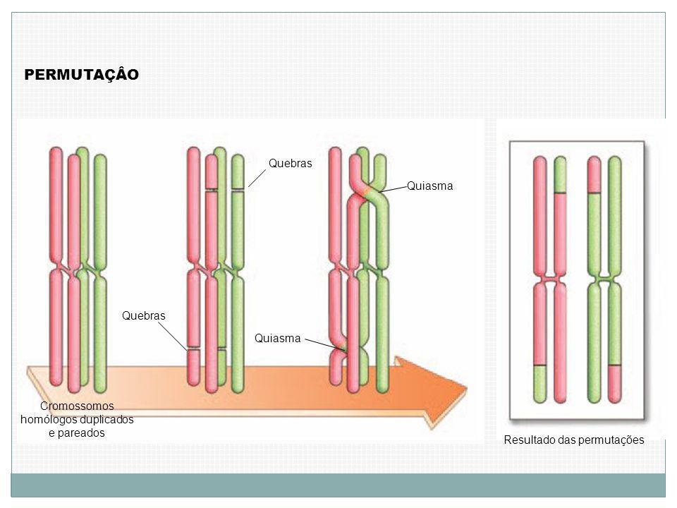 PERMUTAÇÂO Cromossomos homólogos duplicados e pareados Quebras Quiasma Resultado das permutações