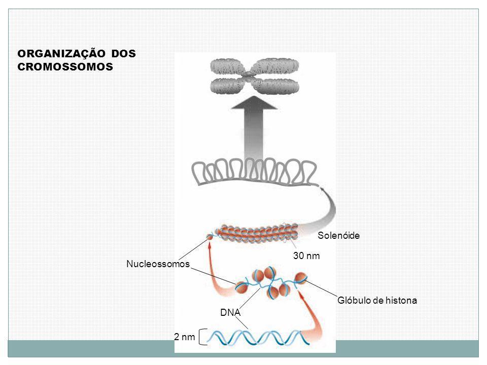 ORGANIZAÇÃO DOS CROMOSSOMOS 2 nm DNA Glóbulo de histona 30 nm Nucleossomos Solenóide