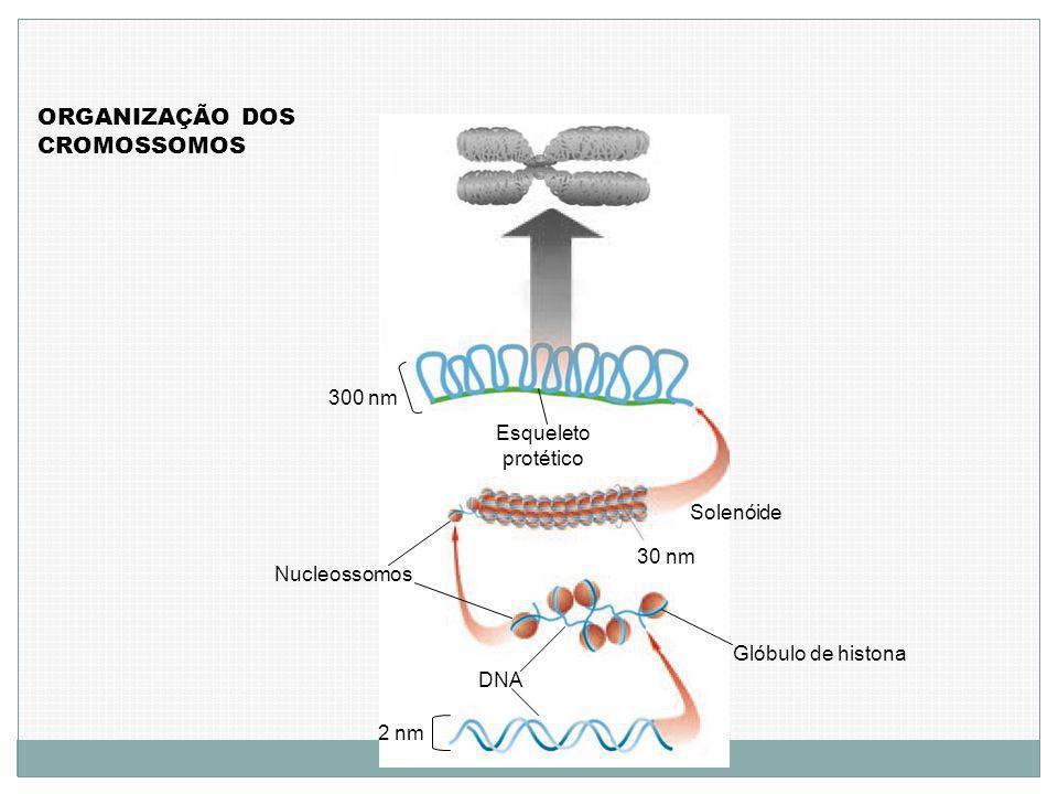 ORGANIZAÇÃO DOS CROMOSSOMOS 2 nm DNA Glóbulo de histona 30 nm Nucleossomos Solenóide Esqueleto protético 300 nm