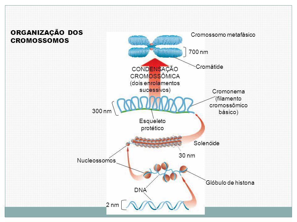 ORGANIZAÇÃO DOS CROMOSSOMOS 2 nm DNA Glóbulo de histona 30 nm Nucleossomos Solenóide Cromonema (filamento cromossômico básico) Esqueleto protético 300 nm CONDENSAÇÃO CROMOSSÔMICA (dois enrolamentos sucessivos) Cromátide 700 nm Cromossomo metafásico