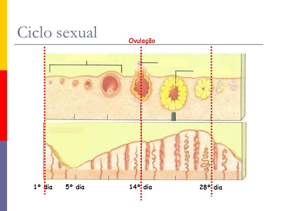 Ciclo sexual 28º dia 14º dia5º dia1º dia Ovulação 28º dia 14º dia1º dia5º dia