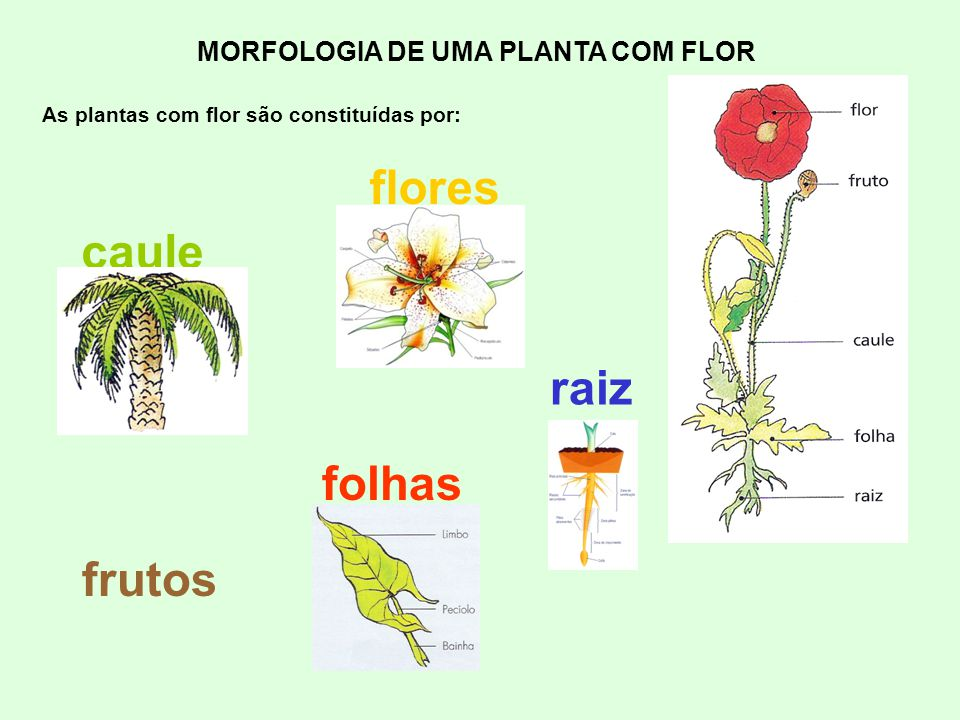 MORFOLOGIA DE UMA PLANTA COM FLOR As plantas com flor são constituídas por: frutos raiz caule folhas flores