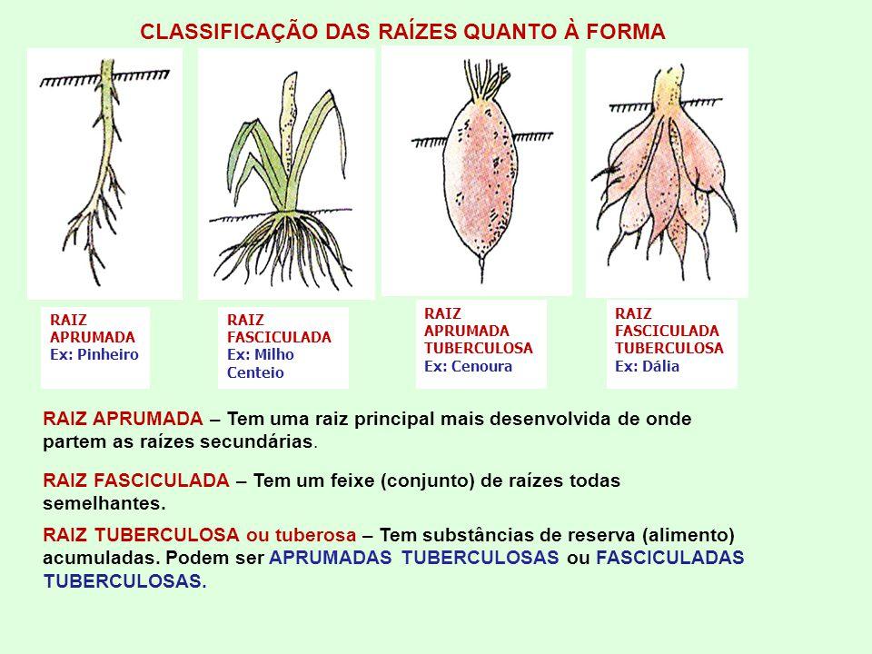 CLASSIFICAÇÃO DAS RAÍZES QUANTO À FORMA RAIZ APRUMADA Ex: Pinheiro RAIZ FASCICULADA Ex: Milho Centeio RAIZ APRUMADA TUBERCULOSA Ex: Cenoura RAIZ FASCICULADA TUBERCULOSA Ex: Dália RAIZ APRUMADA – Tem uma raiz principal mais desenvolvida de onde partem as raízes secundárias.