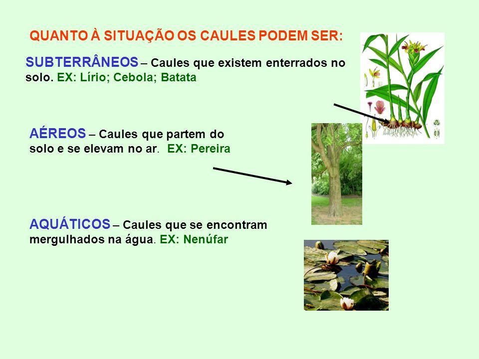 QUANTO À SITUAÇÃO OS CAULES PODEM SER: SUBTERRÂNEOS – Caules que existem enterrados no solo. EX: Lírio; Cebola; Batata AÉREOS – Caules que partem do s