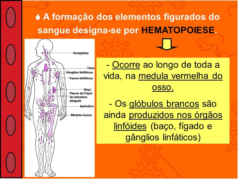 A formação dos elementos figurados do sangue designa-se por HEMATOPOIESE. - Ocorre ao longo de toda a vida, na medula vermelha do osso. - Os glóbulos