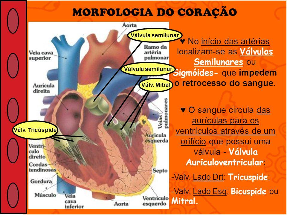 MORFOLOGIA DO CORAÇÃO No início das artérias localizam-se as Válvulas Semilunares ou Sigmóides- que impedem o retrocesso do sangue. O sangue circula d
