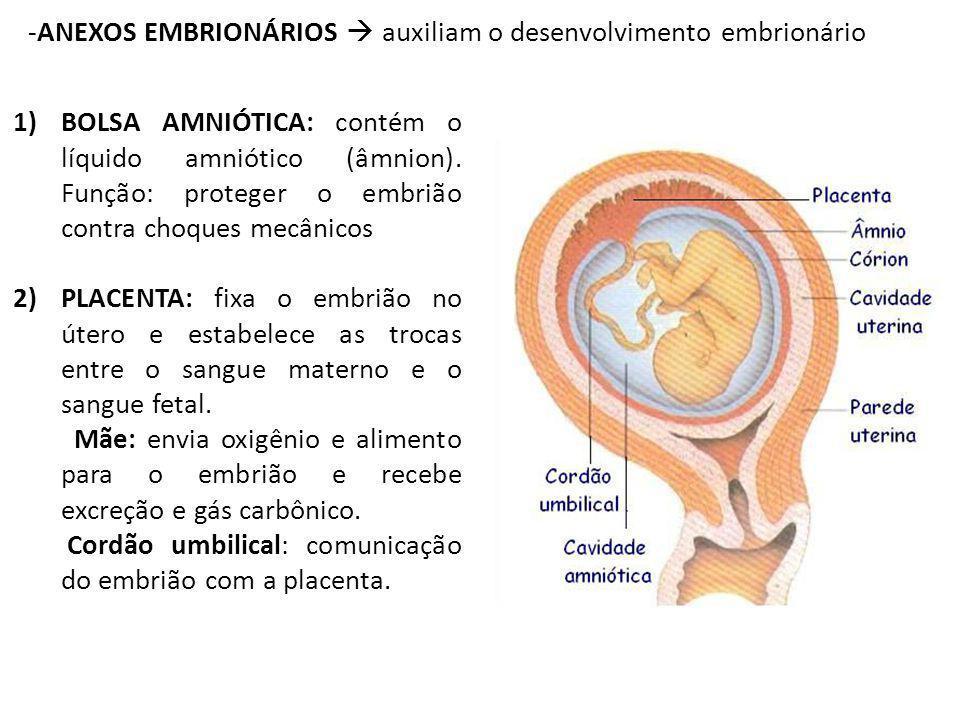 -ANEXOS EMBRIONÁRIOS auxiliam o desenvolvimento embrionário 1)BOLSA AMNIÓTICA: contém o líquido amniótico (âmnion). Função: proteger o embrião contra