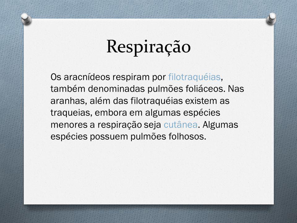Respiração Os aracnídeos respiram por filotraquéias, também denominadas pulmões foliáceos.