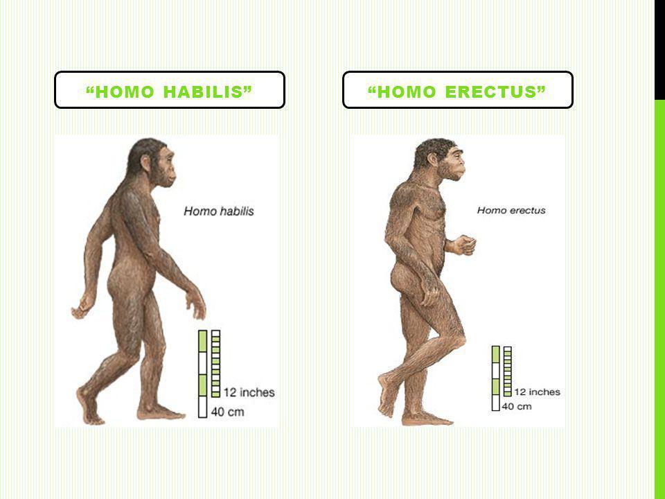 HOMO HABILISHOMO ERECTUS