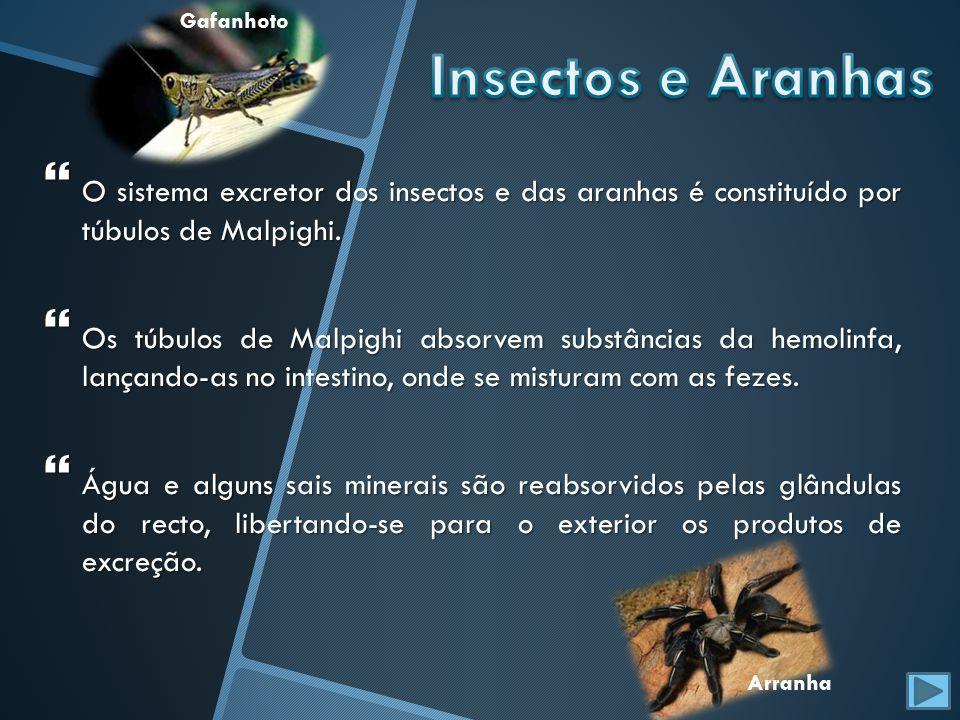 O sistema excretor dos insectos e das aranhas é constituído por túbulos de Malpighi. O sistema excretor dos insectos e das aranhas é constituído por t