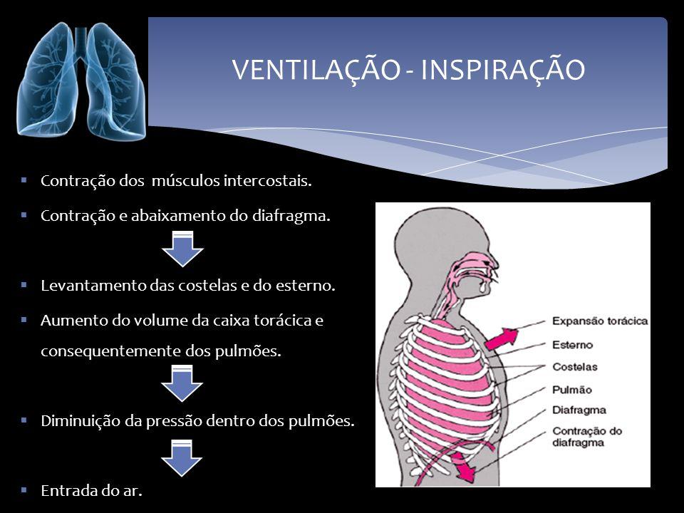 VENTILAÇÃO - INSPIRAÇÃO Contração dos músculos intercostais. Contração e abaixamento do diafragma. Levantamento das costelas e do esterno. Aumento do