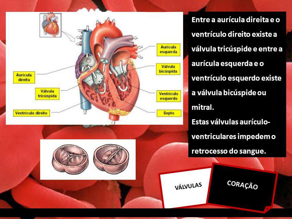 Entre a aurícula direita e o ventrículo direito existe a válvula tricúspide e entre a aurícula esquerda e o ventrículo esquerdo existe a válvula bicúspide ou mitral.